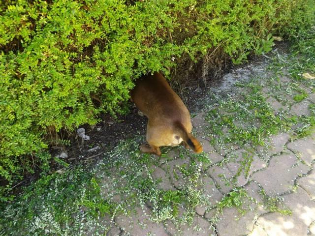 Dudu, chien Teckel