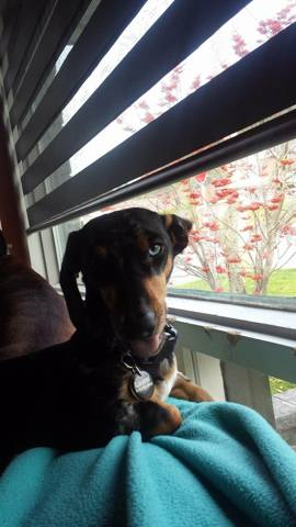 Laurel, chien Teckel