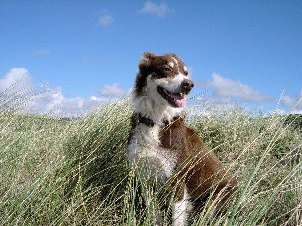 Tékilla, chien Border Collie