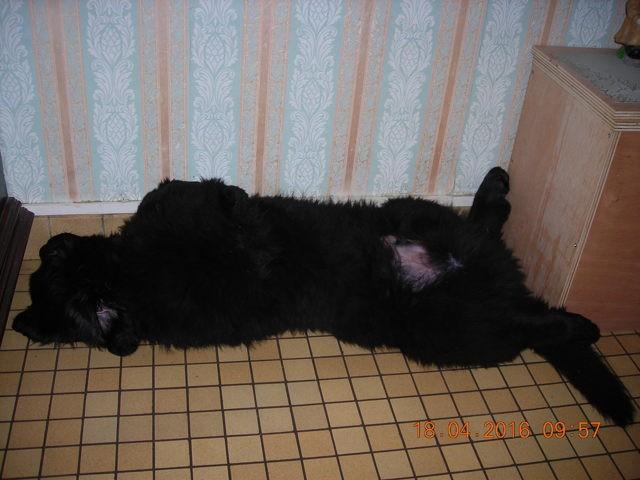 Jumpy, chien Terre-Neuve