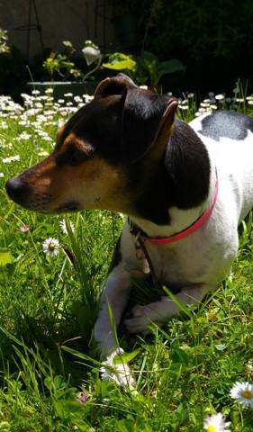 Holie, chien Terrier brésilien