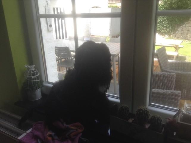 Marius, chien Terrier tibétain