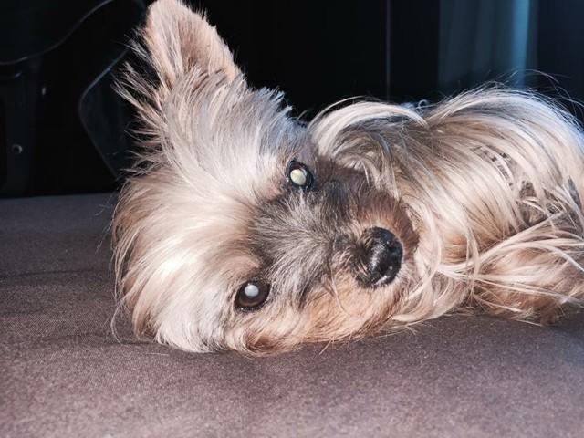Tessa, chien Yorkshire Terrier