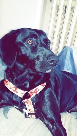 Thalya, chien Labrador Retriever