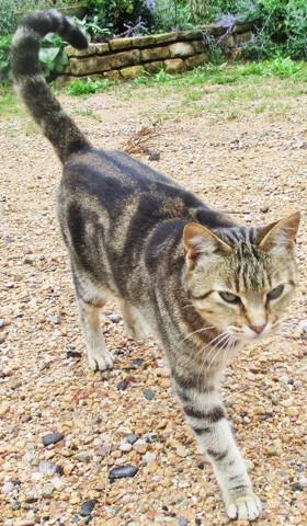 Tigresse, chat Européen