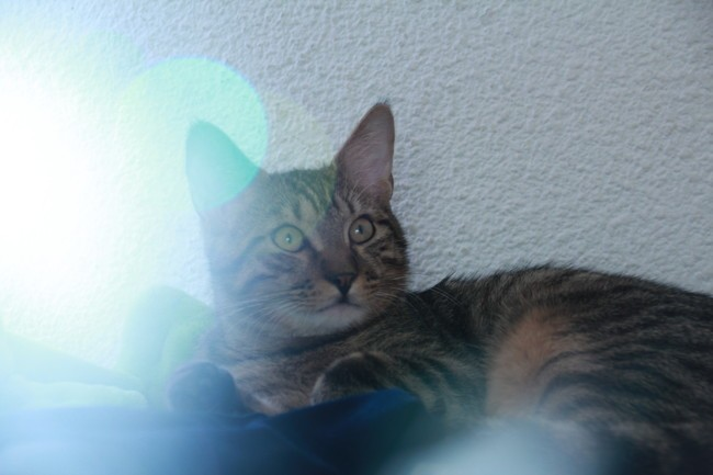 Tigrou, chat Européen