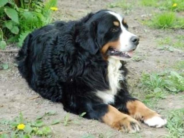 Tina, chien Bouvier bernois