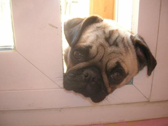 Tina, chien Carlin