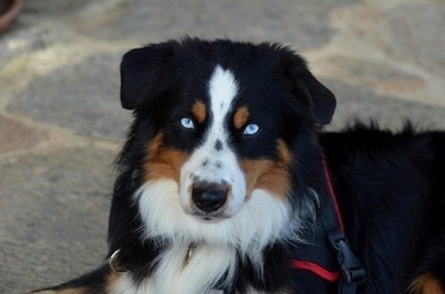 Tino, chien Berger australien