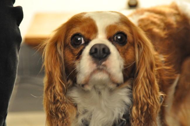 Titer, chien Cavalier King Charles Spaniel