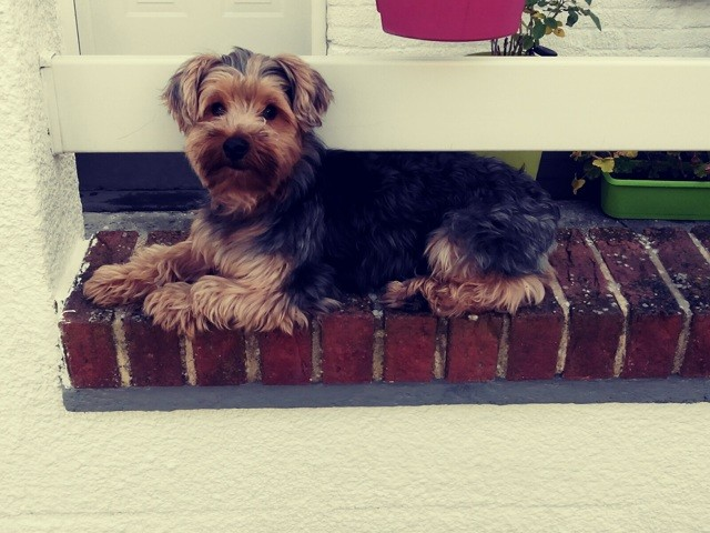 Titi, chien Yorkshire Terrier