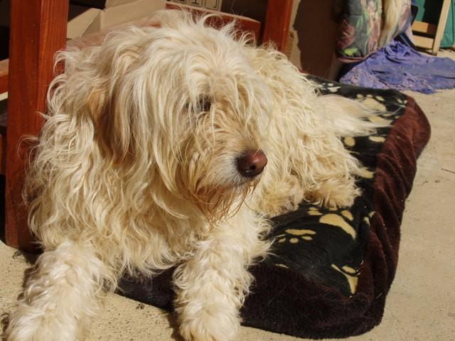 Titounette, chien Schapendoes néerlandais