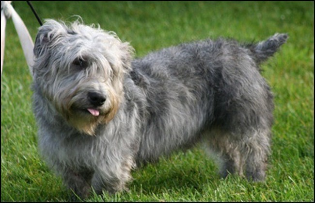 Tobby, chien Irish Glen of Imaal Terrier