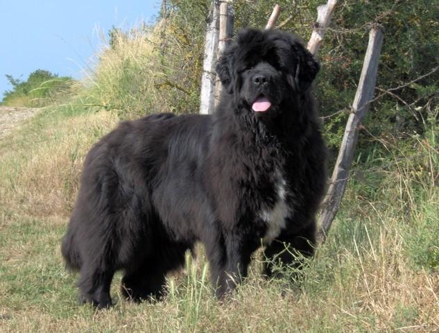 Tokina, chien Terre-Neuve