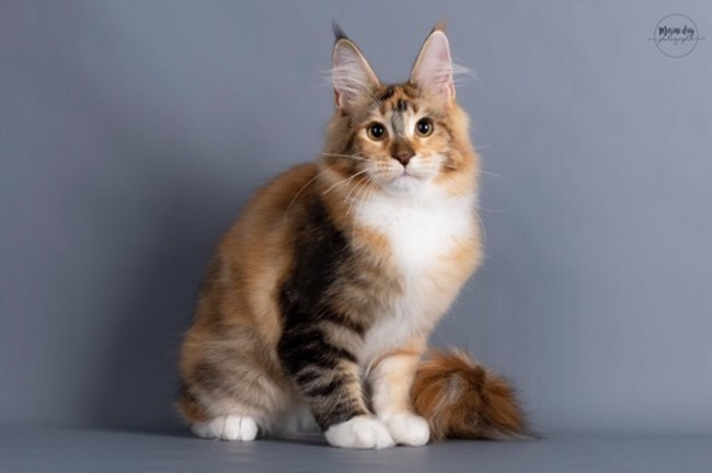 Tosca Of Cadazz, chaton Maine Coon