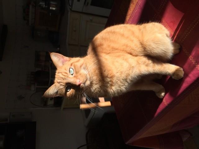 Toto, chat Européen