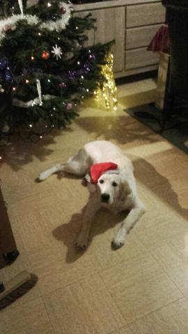 Trésor, chien Golden Retriever