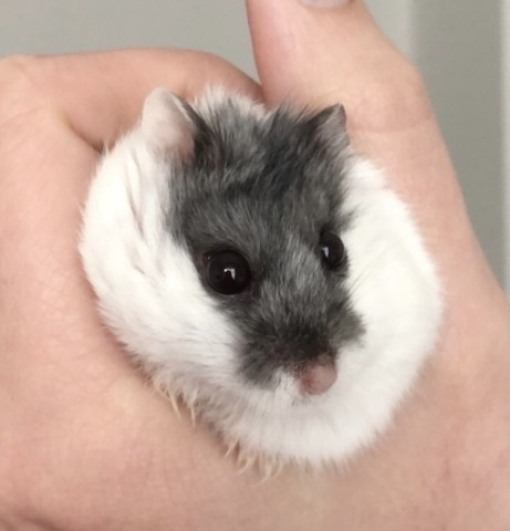 Tsuki, rongeur Lapin