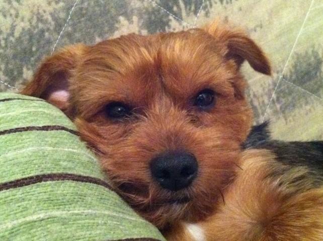 Turbo, chien Yorkshire Terrier