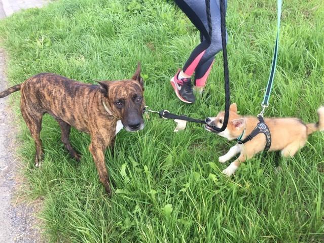 Twix, chien American Staffordshire Terrier