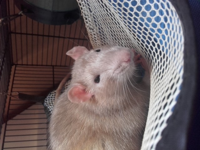 Typhon, rongeur Rat