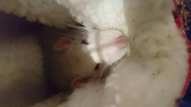 Ubu, rongeur Rat