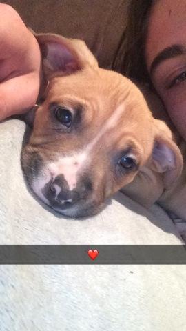 Vatos, chien American Staffordshire Terrier