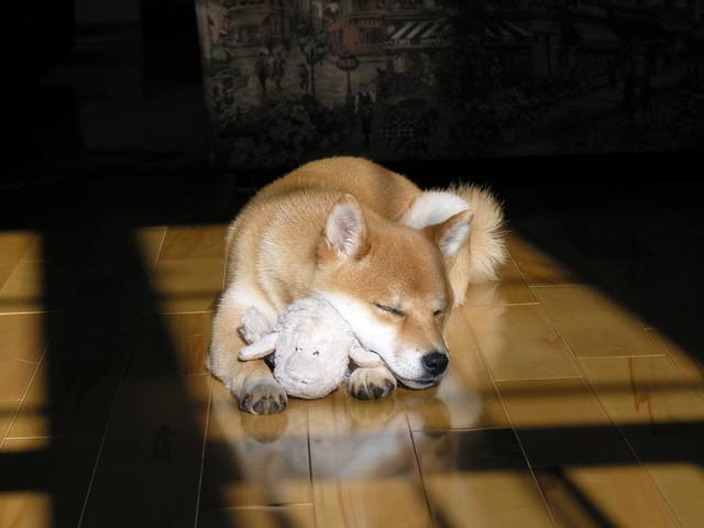 Véga, chien Shiba Inu