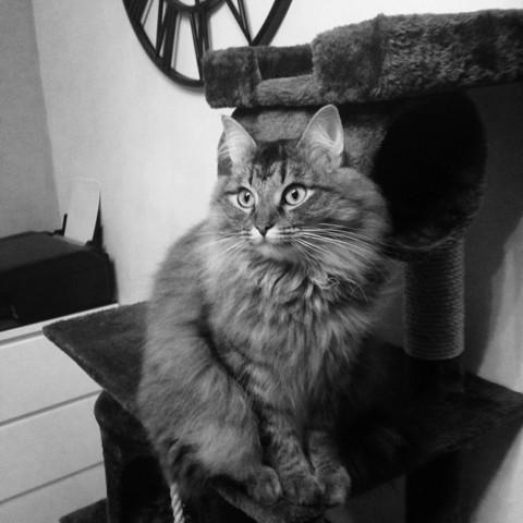 Vénus, chat Sibérien