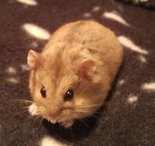 Victor, rongeur Hamster