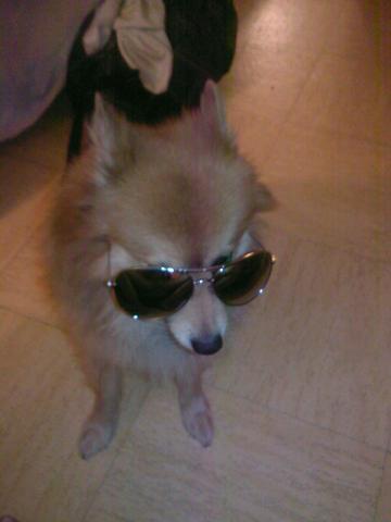 Vintage, chien Spitz allemand