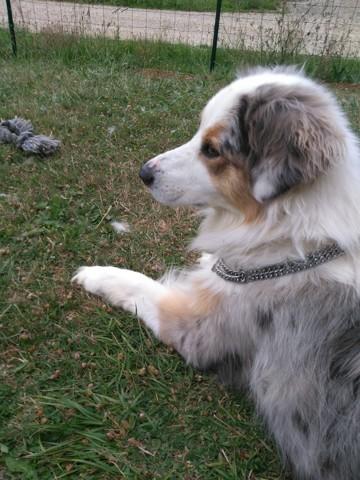 Vulcain, chien Berger australien