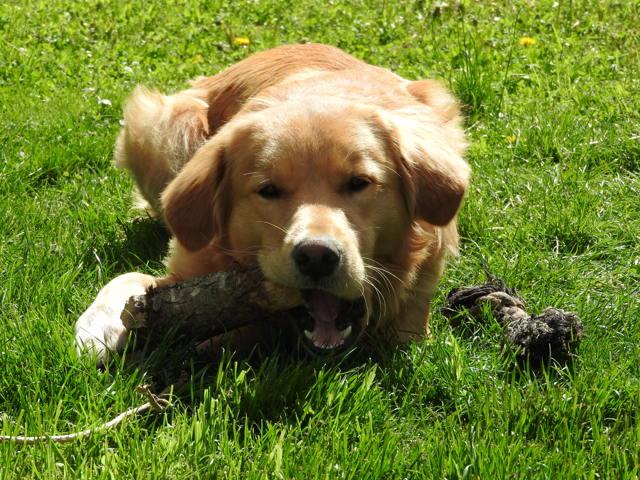 Weeny, chien Golden Retriever