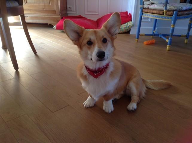 Irouléguy, chien Welsh Corgi