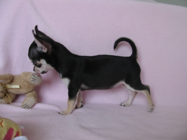 Fergie, chien Chihuahua