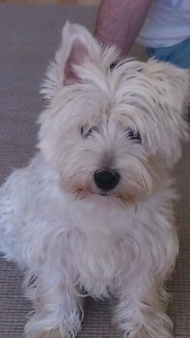 Isa, chien West Highland White Terrier