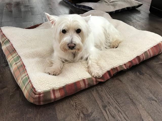 Wendy, chien West Highland White Terrier