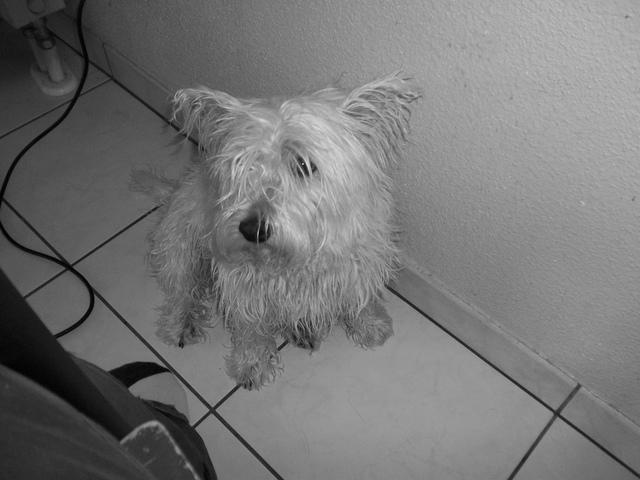 Brava, chien West Highland White Terrier