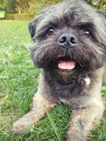 Woopy, chien Lhassa Apso