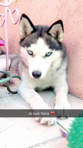 Xena, chien Husky sibérien