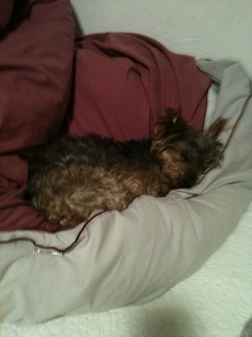 Noirette, chien Yorkshire Terrier