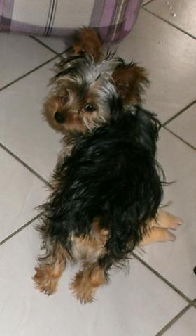 Cannelle, chien Yorkshire Terrier