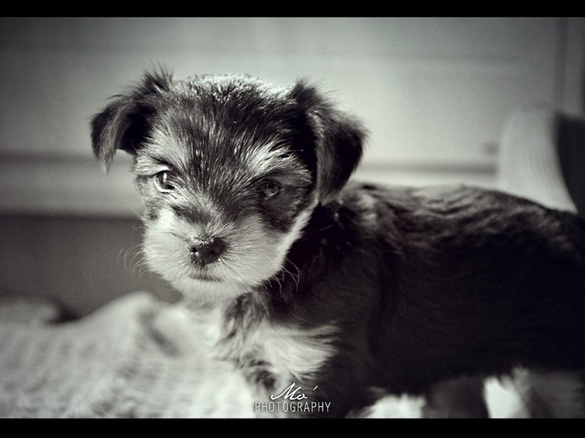 Sissi, chien Yorkshire Terrier