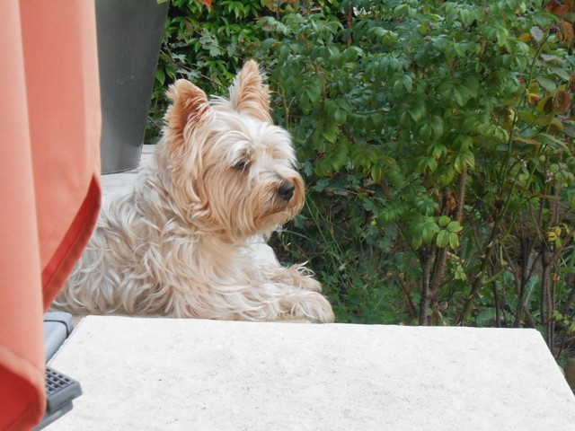 Marcel, chien Yorkshire Terrier