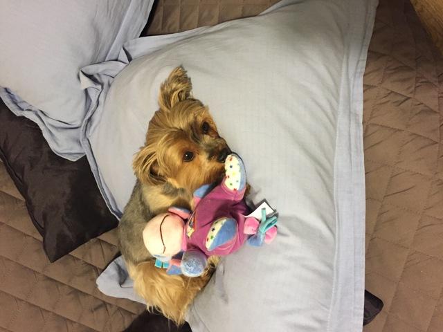 Jody, chien Yorkshire Terrier