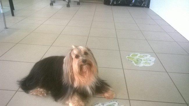 Gena, chien Yorkshire Terrier