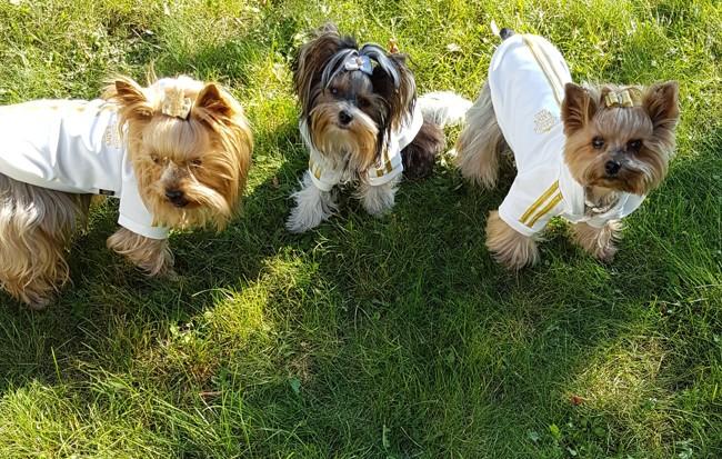 Lytsye, chiot Yorkshire Terrier