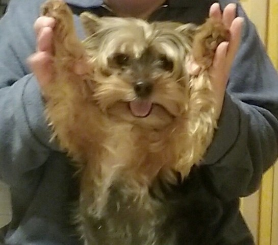 Skippy, chien Yorkshire Terrier