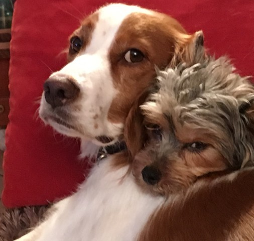 Marlow, chien Yorkshire Terrier