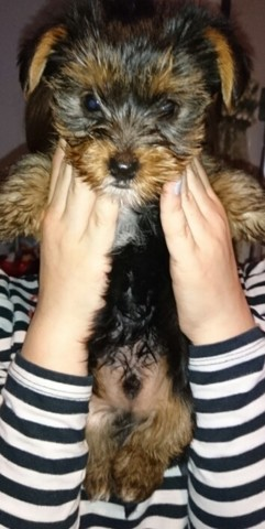 Noumba, chiot Yorkshire Terrier